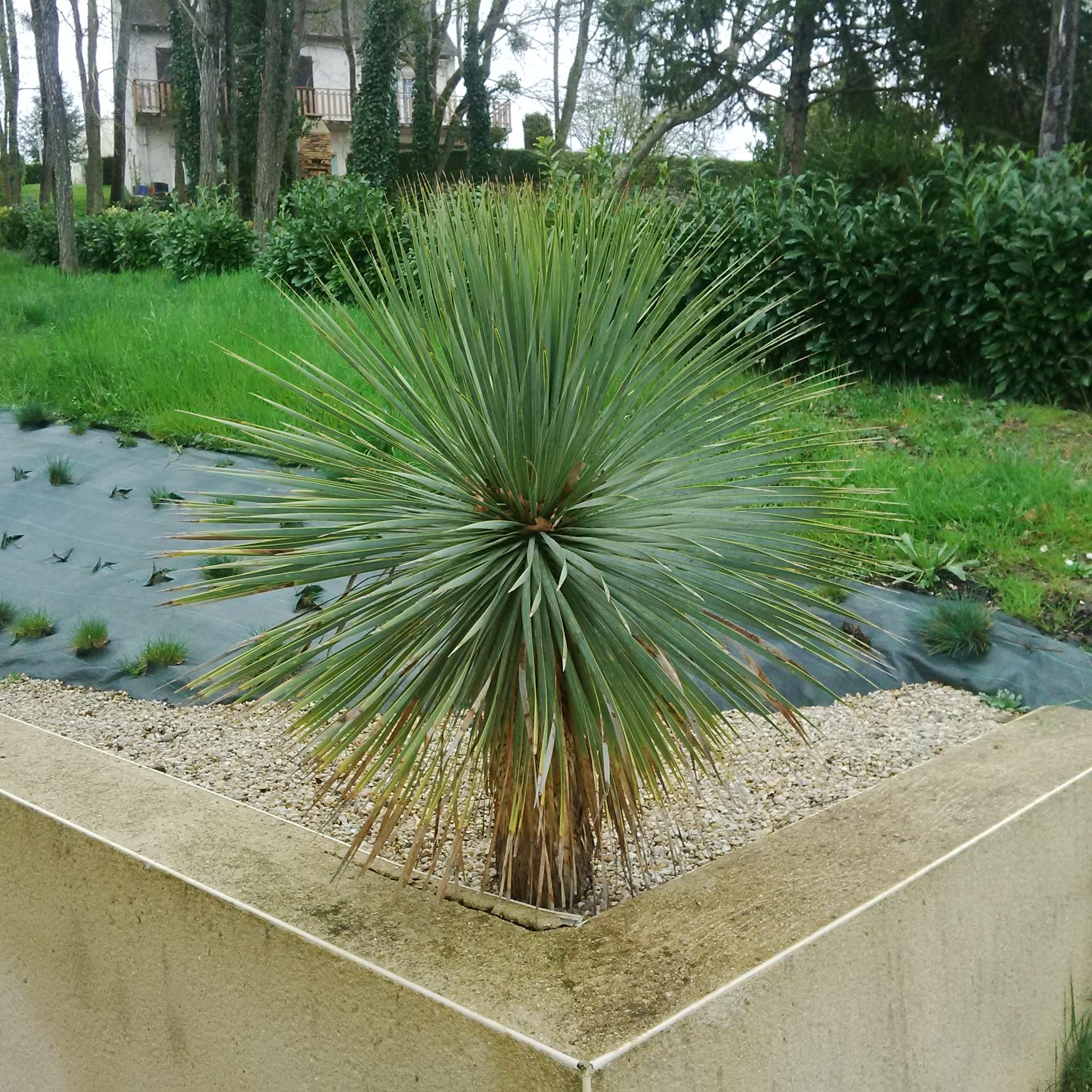 Fourniture et plantation d'un Yucca Rostrata